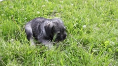 Schnauzer puppy playing in the park Stock Footage