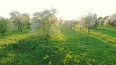 Aerial view of beautiful blossoming apple-tree garden. Aerial footage. Stock Footage