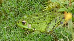 Green frog sitting in the grass, breathing and blinking eyes. Stock Footage