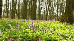 Movement like animal view in spring wood with flowers. 4K  stedicam POV shot Stock Footage