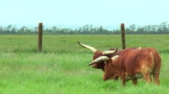 African red bulls Watussi Stock Footage