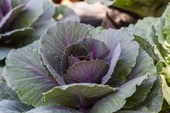 Young Purple cabbage in garden - stock photo