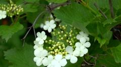 White flower on the branch Viburnum opulus Stock Footage