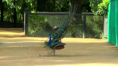 Peacock shows its tail - stock footage