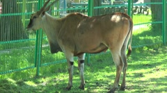 African eland standing near the fence Stock Footage