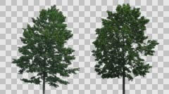 Real Tree Isolated On The Wind MIX 21-22 Stock Footage