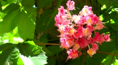 Red Horse Chestnut Bloom Stock Footage