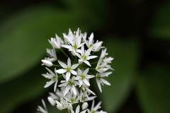 Flowers of wild garlic or ramsons, Allium ursinum, a wild form of garlic used Stock Photos