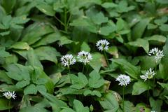 Flowers of wild garlic or ramsons, Allium ursinum, a wild form of garlic used - stock photo