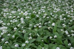 Flowers of wild garlic or ramsons, Allium ursinum, a wild form of garlic used - stock photo