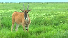 Eland scratching his horns back Stock Footage
