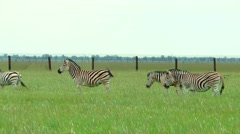 A herd of zebras grazing on the prairie on a green grass Stock Footage