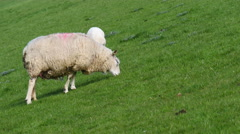 White sheep is eating grass. Stock Footage
