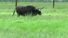 Black bull gaur in the desert to pasture Stock Footage
