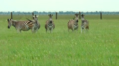 Family of zebras in the spring steppe - stock footage