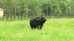 Black bull in the wilderness near the farm Stock Footage
