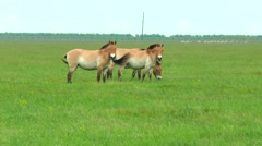 Przewalski horse in the spring steppe Stock Footage