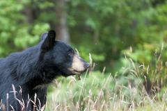 An isolated  black bear in the green background in Alaska - stock photo