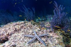 sea stars in a reef colorful underwater landscape - stock photo
