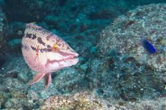 colorful grouper fish - stock photo