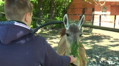 The guy feeds the grass Lama - stock footage