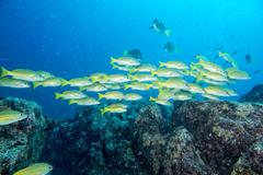 Inside a school of yellow grouper fish close up in the deep blue sea - stock photo
