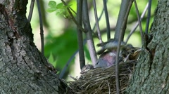 Thrush Fieldfare nestlings sitting in a nest waiting for feeding - stock footage