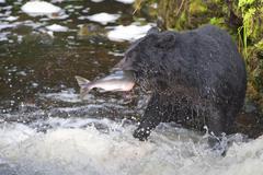 A black bear catching a salmon in Alaska river Stock Photos