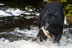 A black bear eating a salmon in a river with splash and blood Alaska Kuvituskuvat