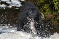 A black bear eating a salmon in a river with splash and blood Alaska - stock photo
