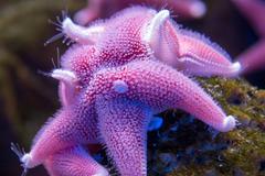 antarctic cushion sea star underwater close up detail - stock photo