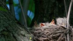 Thrush Fieldfare (Turdus pilaris) feeding chicks in the nest - stock footage