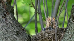 Thrush Fieldfare (Turdus pilaris) feeding chicks in the nest - stock footage