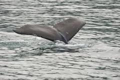 Humpback whale tail while going down in Glacier Bay Alaska - stock photo