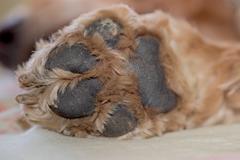 dog paw  macro close up detail - stock photo
