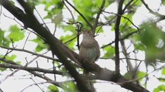 Sprosser or Thrush nightingale sitting on a branch and sings a song Stock Footage