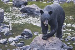 A black bear while comig to you - stock photo