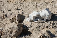 Sheep skull and bones on the ground in Patagonia, Argentina Stock Photos