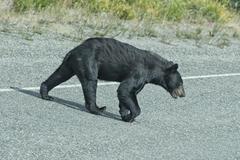 A black bear crossing the road Stock Photos