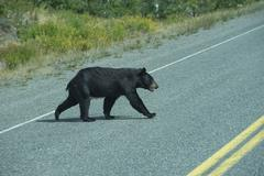 A black bear crossing the road in Alaska Britsh Columbia - stock photo