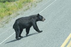 A black bear crossing the road in Alaska Britsh Columbia Stock Photos