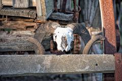 Sheep skull and bones on far west wagon Stock Photos