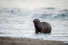 Patagonia  puppy sea lion portrait seal on the beach Stock Photos