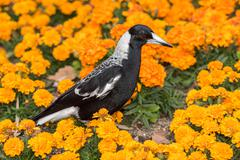 Magpie in perth botanic gardens on orange blossom glower background Stock Photos