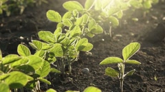 Young soybean plants growing in cultivated field Stock Footage