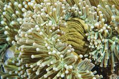 Anemone tentacles hard coral detail Stock Photos