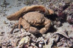 Portrait of Anemone crab underwater Stock Photos