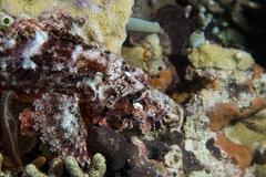 Scorpion Lion fish underwater portrait Stock Photos