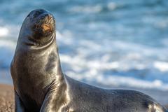 Big Male sea lion seal on Patagonia beach Stock Photos