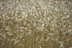 Mature Grain wheat field in summer time - stock photo